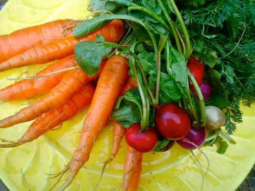 Beautiful organic and locally grown carrots and radish.